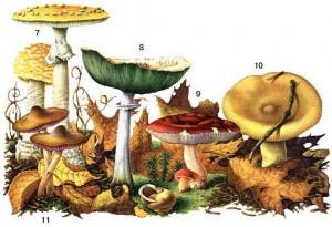 Разнообразие ядовитых грибов