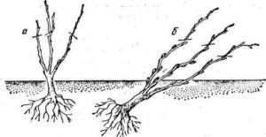 Варианты посадки куста смородины