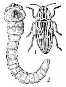 1. Черная златка. 2. Личинки жука черной златки