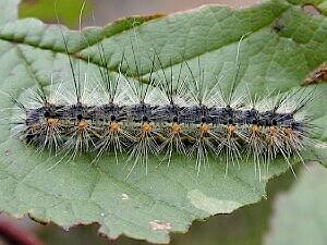 Гусеница американской белой бабочки