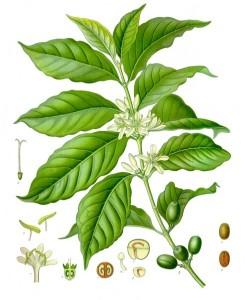 Побег и плоды кофейного дерева