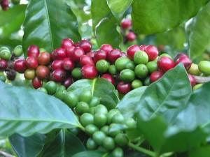Кофейное дерево в естественных условиях