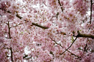 Цветущая весной вишня