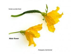 Цветок с завязью и огуречный пустоцвет