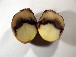 Гниль картофеля