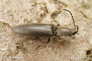 Взрослый жук-щелкун