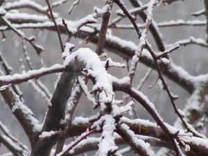 Ветки яблони зимой