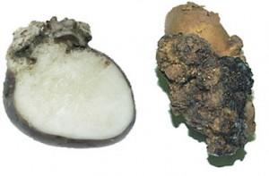 Картофельный рак