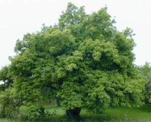 Старая яблоня сорта Антоновка