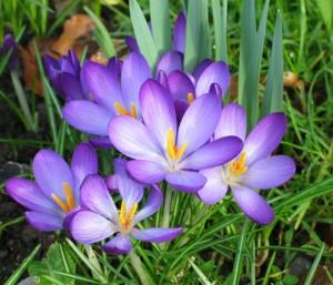 Крокусы и другие луковичные цветы