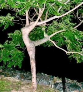 Отгибание веток для придания формы дереву