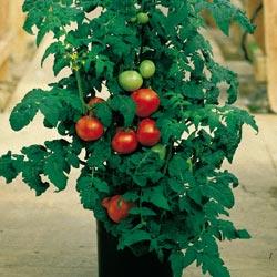 Как растить помидоры дома