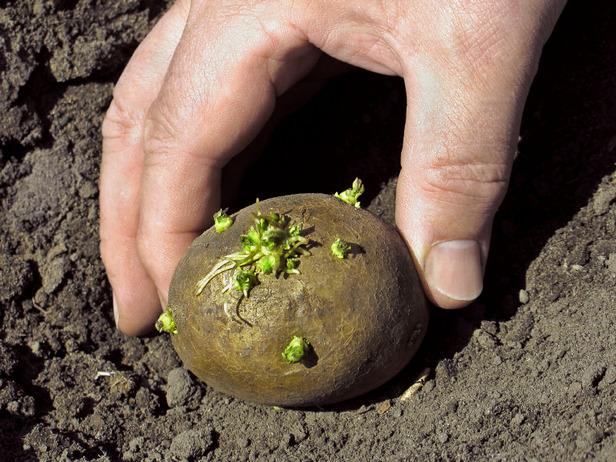 В Чувашии посадку картофеля завершат позднее запланированных сроков