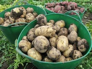 Сбор и хранение картофеля