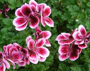 Цветы пеларгонии