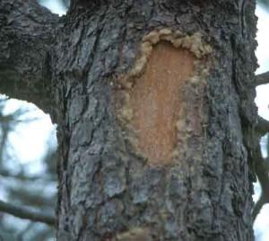 Повреждения коры дерева