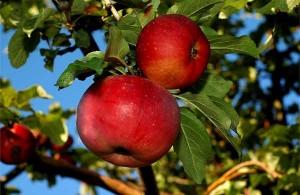 Сорт яблок Апорт алмаатинский