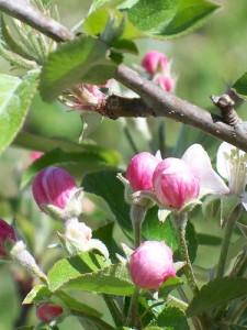 Цветущие ветви яблони