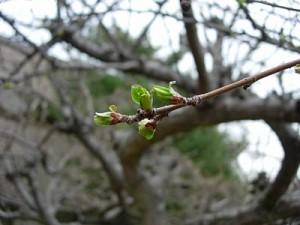 Ветви с раскрывшимися почками