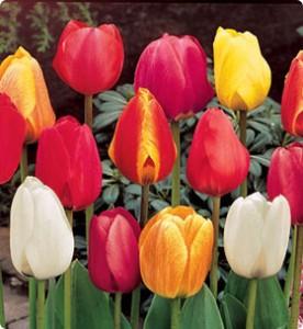 Тюльпаны сорта Дарвинов Гибрид