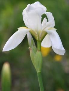 Цветок белого ириса