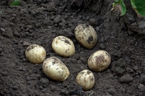 Клубни раннего скороспелого картофеля