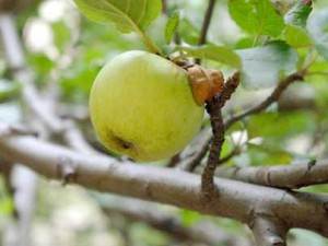 Яблоки на Урале
