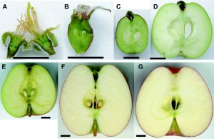 Развитие яблока от цветка до зрелого плода