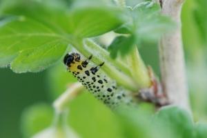 Гусеница листоеда