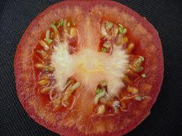 Помидор с семенами