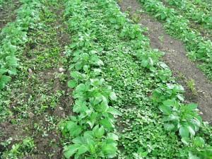 Сорняки на картофельной грядке