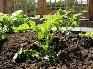 Выращивание картофеля в США