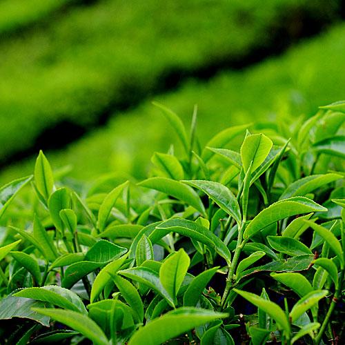 Чайные растения