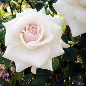 Роза - Лебединое озеро