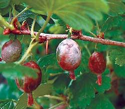 Болезнь быстро распространяется с больных растений.