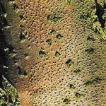 Цитоспороз дерева
