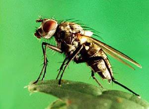 Капустная муха
