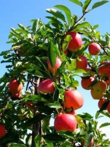 Обильное плодоношение яблони