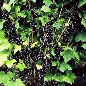 Куст черной смородины