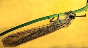 Взрослый муравьиный лев