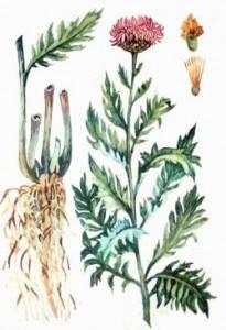 Левзея сафлоровидная или Маралий корень
