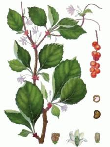 Лимонник, плоды и семена