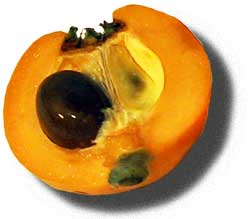 Плод локвы