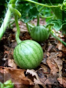 Плоды арбуза
