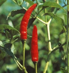 Выращивание жгучего перца