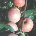 Сорт яблони Чулановка