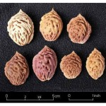 Семена персика