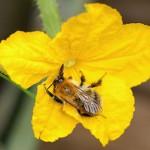Опыление женского цветка огурца