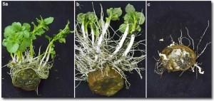 Картофель с ростками и корневой системой