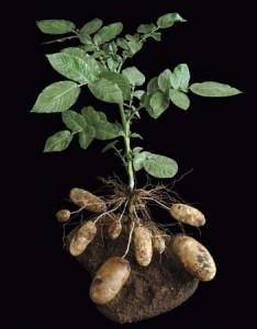 Куст картофеля с клубнями